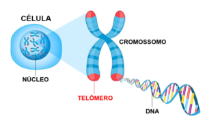 Telômeros: o suposto segredo da longevidade - Envelhecer é parte ...